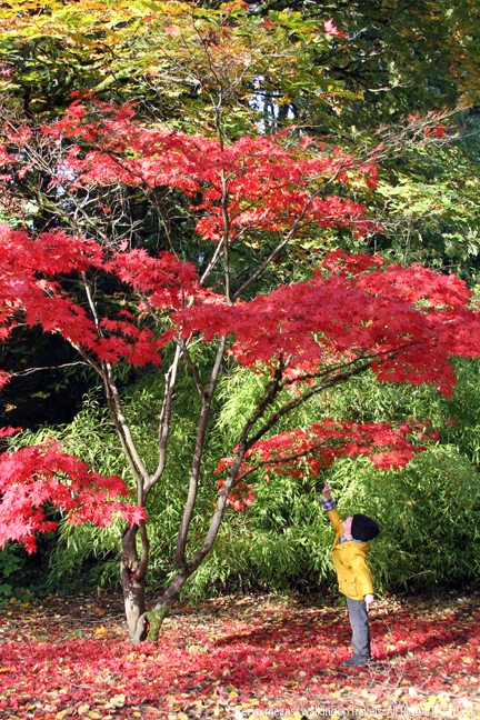 el marvels at a brilliant red tree in kubota garden - Kubota Garden